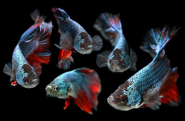 베타 샴 싸우는 물고기의 움직임.