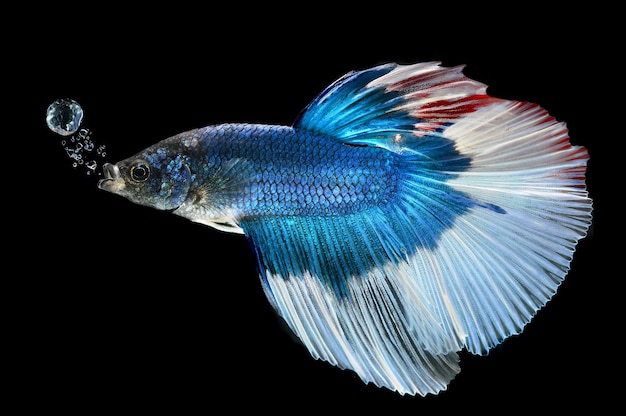 화려하고 강한 샴 싸우는 물고기의 움직임