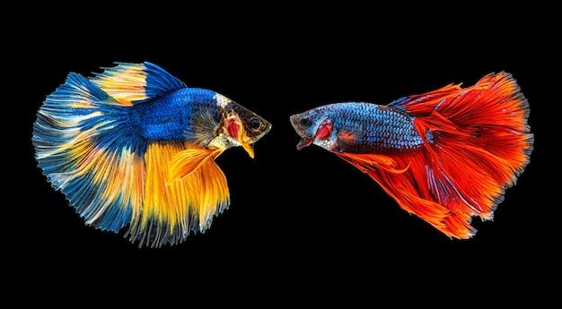 여러 가지 빛깔의 샴 베타 물고기 또는 반달 베타 splendens 싸우는 물고기의 아름다운 움직이는