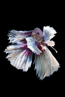 The moving moment beautiful of betta fish on black wall