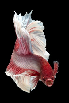 The moving moment beautiful of betta fish on black