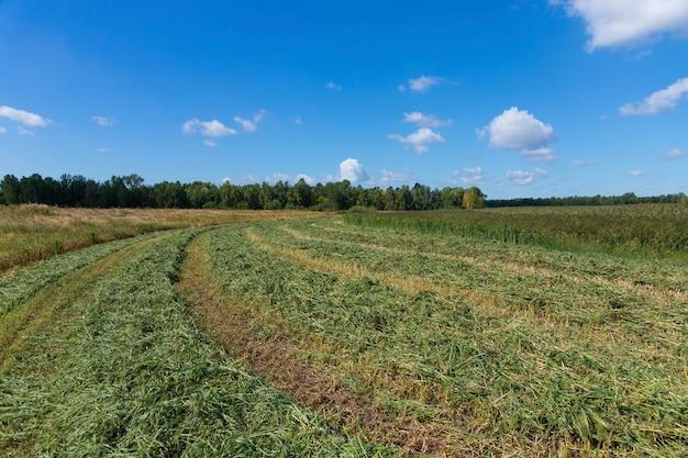 필드에 곡물과 기장의 줄기를 깎습니다. 기장은 음식, 새 사료 및 알코올 음료 생산에 사용됩니다.