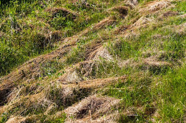 Скошенная и сушеная трава на корм животным, сено сухой травы для сельского хозяйства