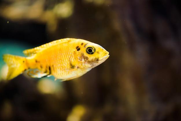 Msobo magunga рыба желтого цвета с черными пятнами плавает в аквариуме.