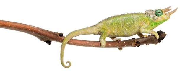 Mt. meru jackson's chameleon - chamaeleo jacksonii merumontanus partially shedding