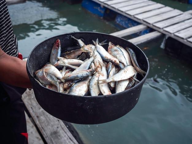 태국 남부의 섬 바다에 있는 물고기 케이지 농장에서 먹이를 주기 위해 현지 어부의 손에 있는 검은 그릇에 많은 신선한 생 정어리 물고기.
