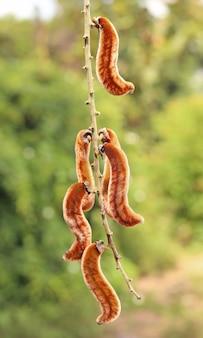 Mucuna pruriens, естественно встречающиеся в таиланде