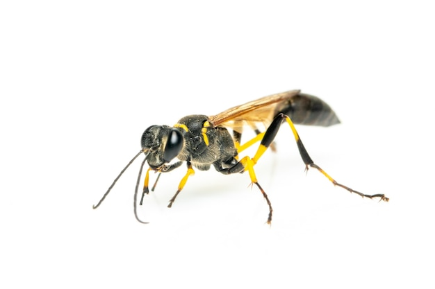 Mud dauber wasp(sphecidae) isolated. insect. animal.