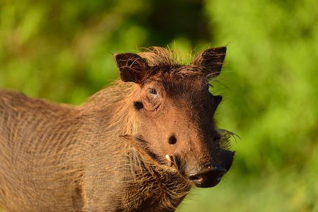 Muddy warthog in nature