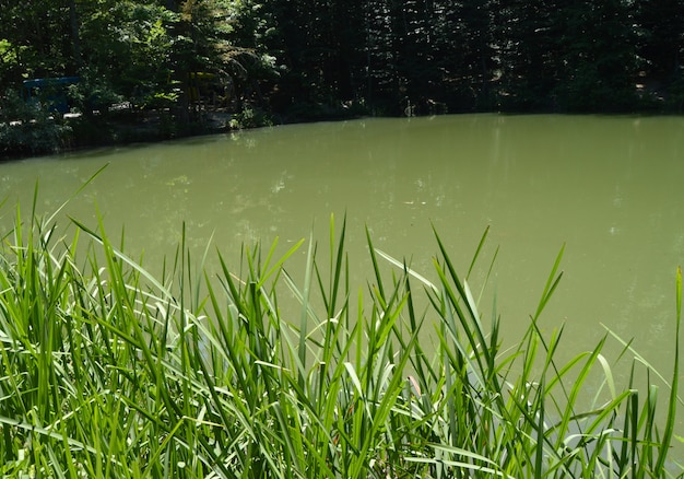 Muddy water in a forest lake or swamp, overgrown with grass on the banks