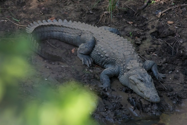 Mugger крокодил
