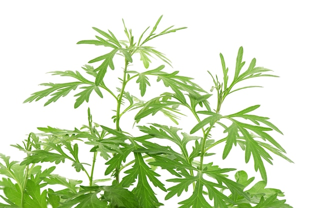 Mugwort or artemisia annua branch green leaves isolated on white background.