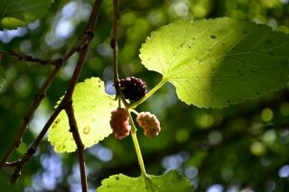 Mulberries in the tree
