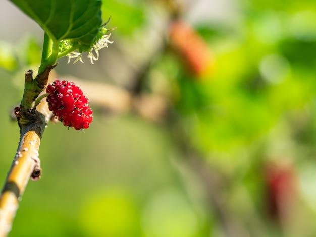 Mulberry fruit amazing
