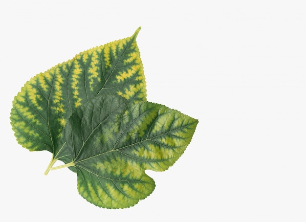 Mulberry green leaves isolated on white background