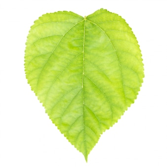 Листья шелковицы на белом фоне