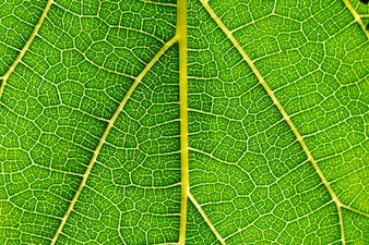 Mulberry leaves are detailed