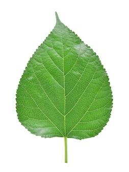 Листья шелковицы, изолированные на белом фоне