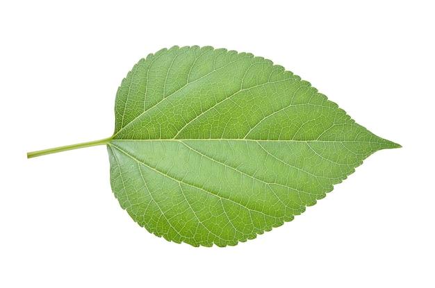 桑の葉は白い背景で隔離