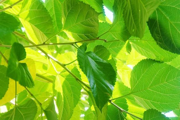 뽕나무 잎 또는 나무에 상 감 분 지
