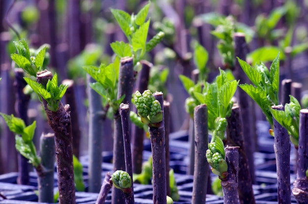 Mulberry (morus alba) green leaf buds in the nursery