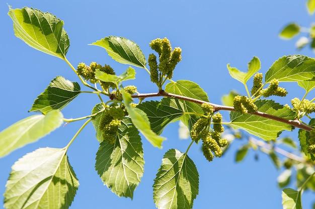 여름 과수원에서 숙성하는 뽕나무. 나무의 가지에 설 익은 뽕나무.