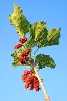 Mulberry tree branch with ripening mulberry fruits against sunny blue sky
