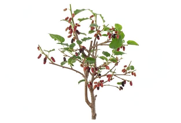 Тутовое дерево, плоды и зеленые листья, изолированные на белом.