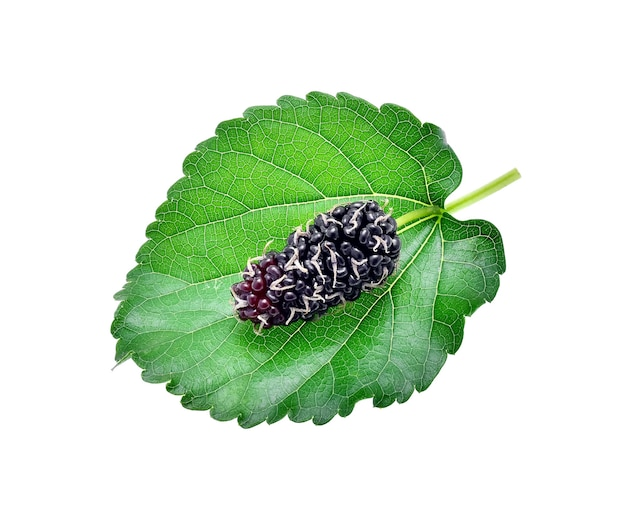 Mulberry with leaf isolated on white background