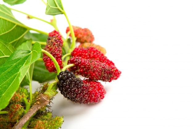 Mulberry with leaves isolated on a white background