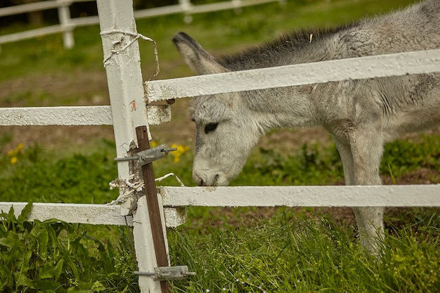 Mule or gray donkey behind the bars of the enclosure in which he is locked up in an outdoor farm