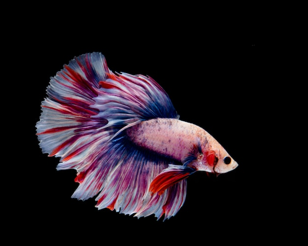 Multi-color betta fish, siamese fighting fish on black background
