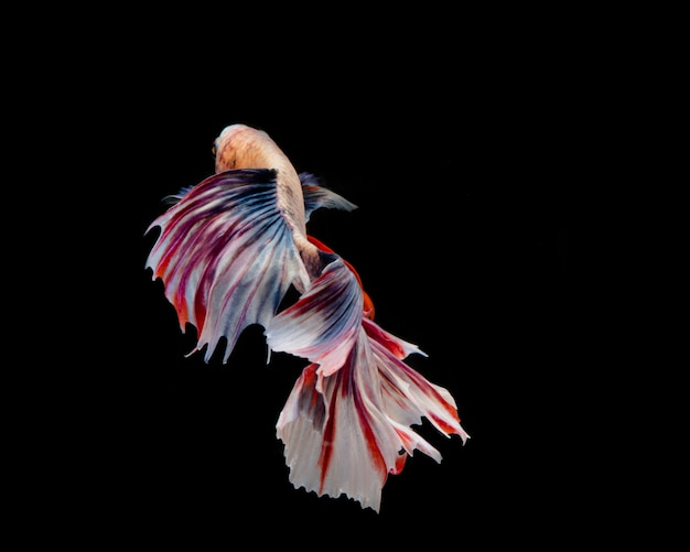 Multi-color betta fish, siamese fighting fish on black background