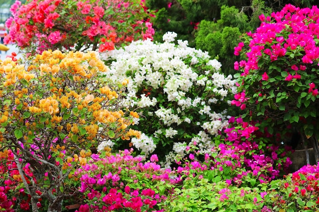 Multi color bougainvillea flowers tree in the garden