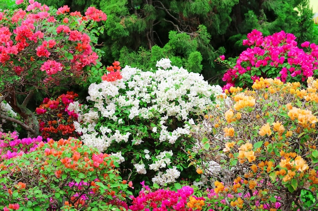 Многоцветный бугенвиллия цветы дерево в парке
