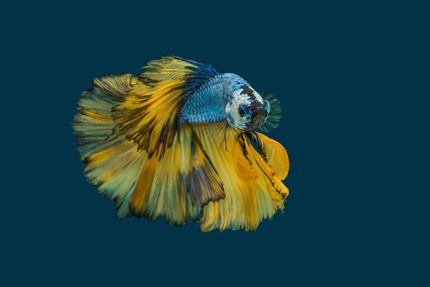 파란색 배경에 고립 된 멀티 컬러 싸우는 물고기