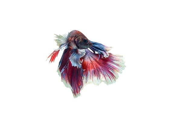 흰색 배경에 고립 된 멀티 컬러 싸우는 물고기