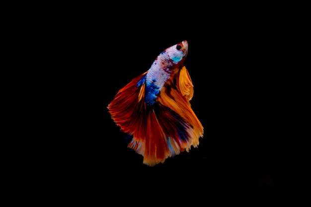 Multi color fighting fish