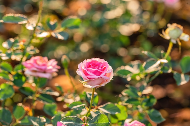 Multi color roses in the small garden
