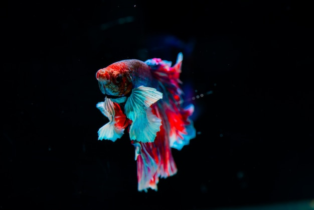 Multi color siamese fighting fish