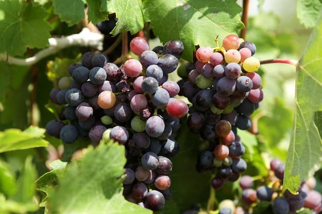 Multi colored grapes on vine, close-up.