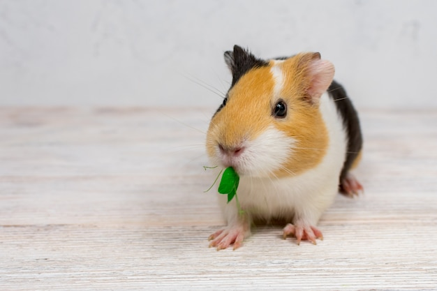 Multi-colored guinea pig on a white background