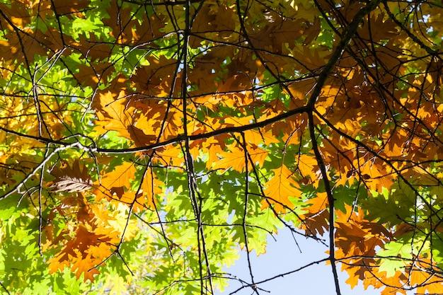 Multi-colored oak foliage on a tree photographed close-up in autumn