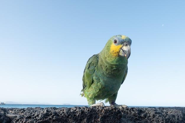 Разноцветный попугай на вулканической скале