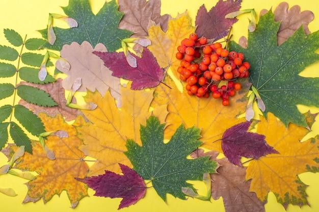Разноцветные красные, оранжевые, зеленые сухие опавшие осенние листья и оранжевые ягоды рябины на желтом фоне. красочное изображение опавших осенних листьев идеально подходит для сезонного использования.
