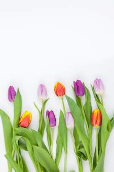 Multi-colored tulips arranged in row on white backdrop