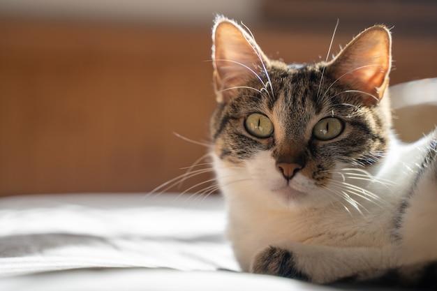 ベッドに横になってまっすぐ前を見ているマルチカラーの猫。パルマデマヨルカ、スペイン