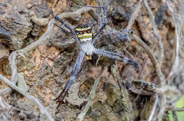 Multi colourred argiope spider in nature