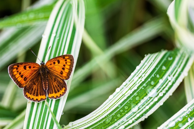 Многоглазая непарная бабочка (lycaena dispar) на зеленой траве фаларис в саду в летний день после дождя, вид сверху