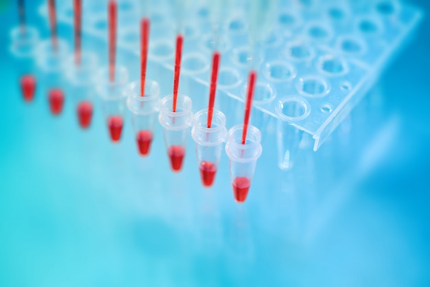 Multichannel pipette tips filled in with red dna amplification mixture